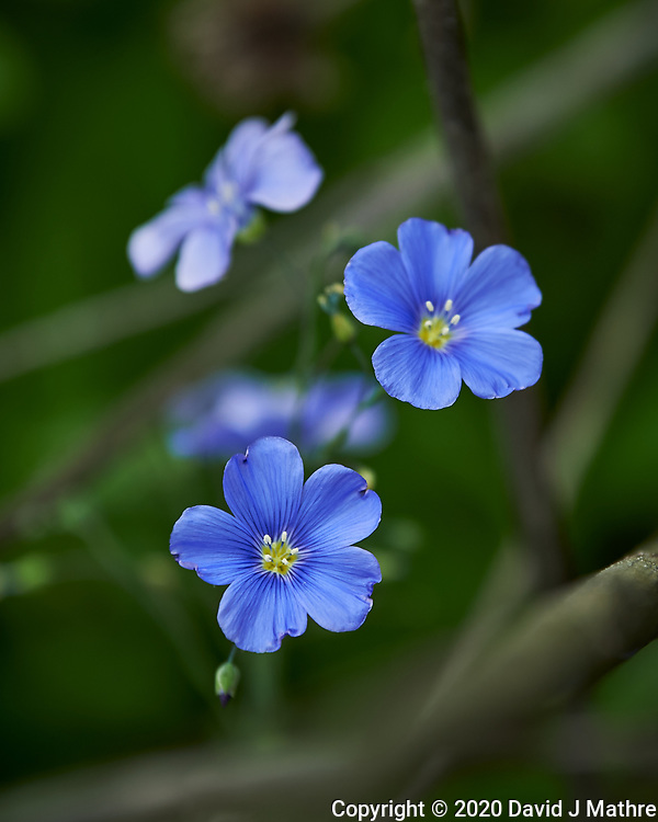 Blue Flax. Image taken with a Nikon Df camera and 70-200 mm f/2.8 lens.