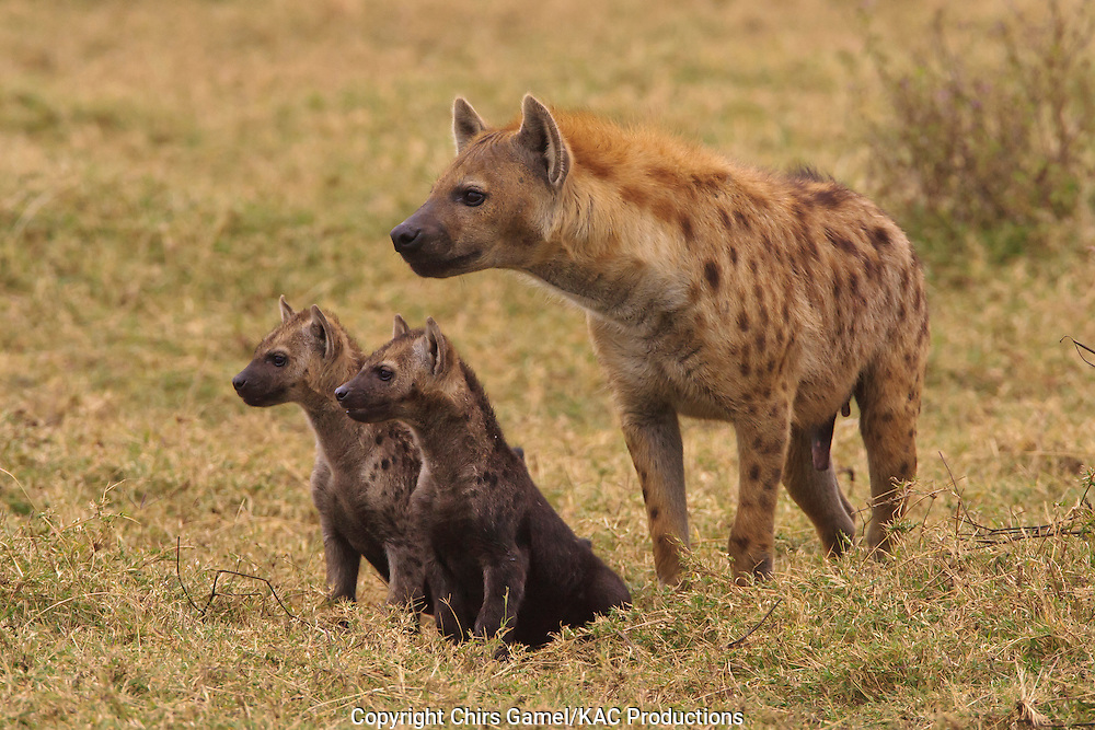 Three spotted hyaena looking in the same direction, one adult with two cubs.