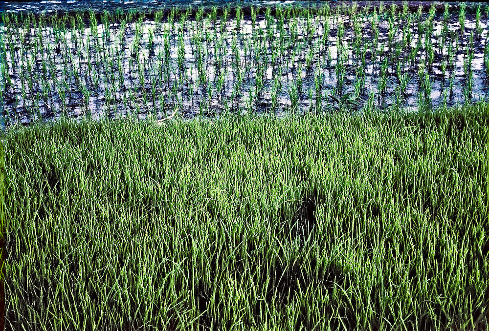 Rice paddy in Bangladesh, layered view of areas showing freshly planted seedlings in water, and half grown plants thickly visible in the foreground.  Horizontal composition of layers.