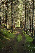Norwegian forest and different trees. Gran (Picea abies), «Norway spruce», er et tre i furufamilien.