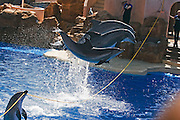 USA, SeaWorld San Diego California, three dolphins jumping over a rope held by a forth dolphin during a show