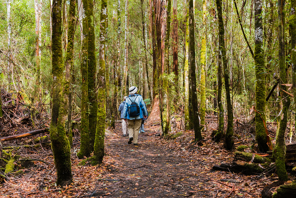 Hikers are in deep among the tall trees of a Tasmanian rain forest.