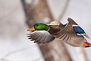 Mallard, Anas platyrhynchos, male, Paint Creek, Rochester, Michigan