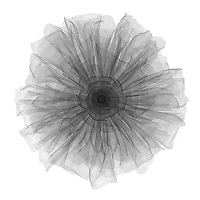 X-ray image of a Persian buttercup flower (Ranunculus asiaticus, black on white) by Jim Wehtje, specialist in x-ray art and design images.