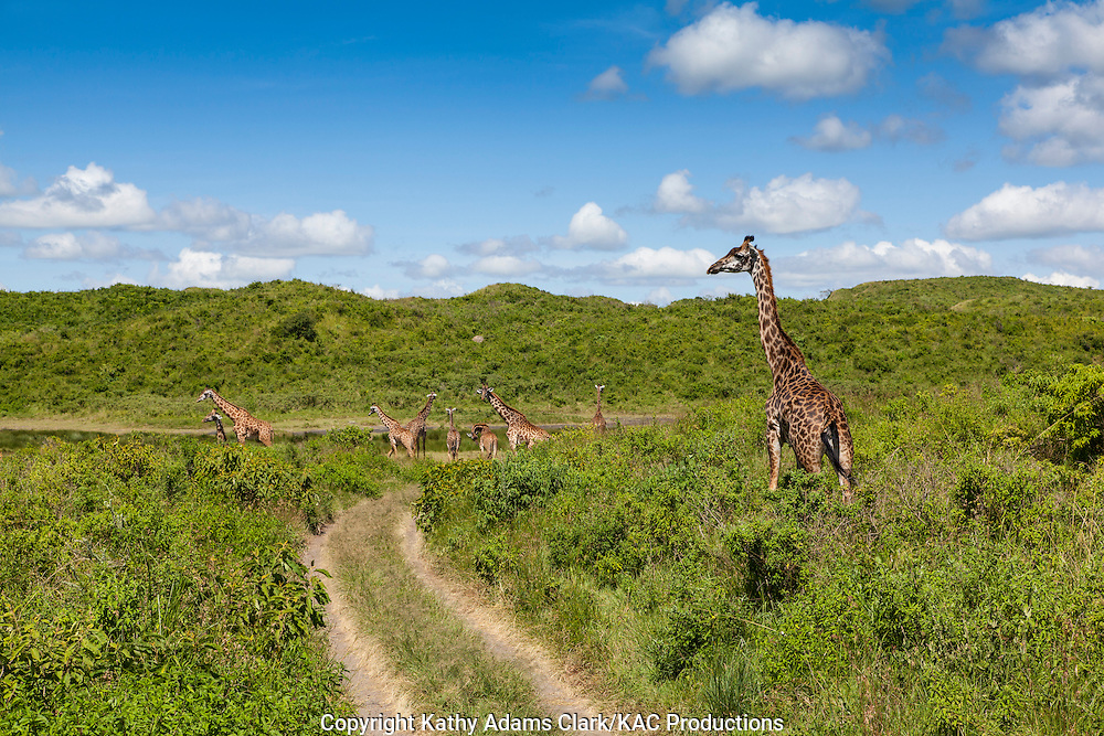 Giraffe, Giraffe camelopardalis,  standing on the dirt road at Arusha National park, Tanzania, Africa.
