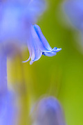 Single bluebell flower with soft focus foreground and background.