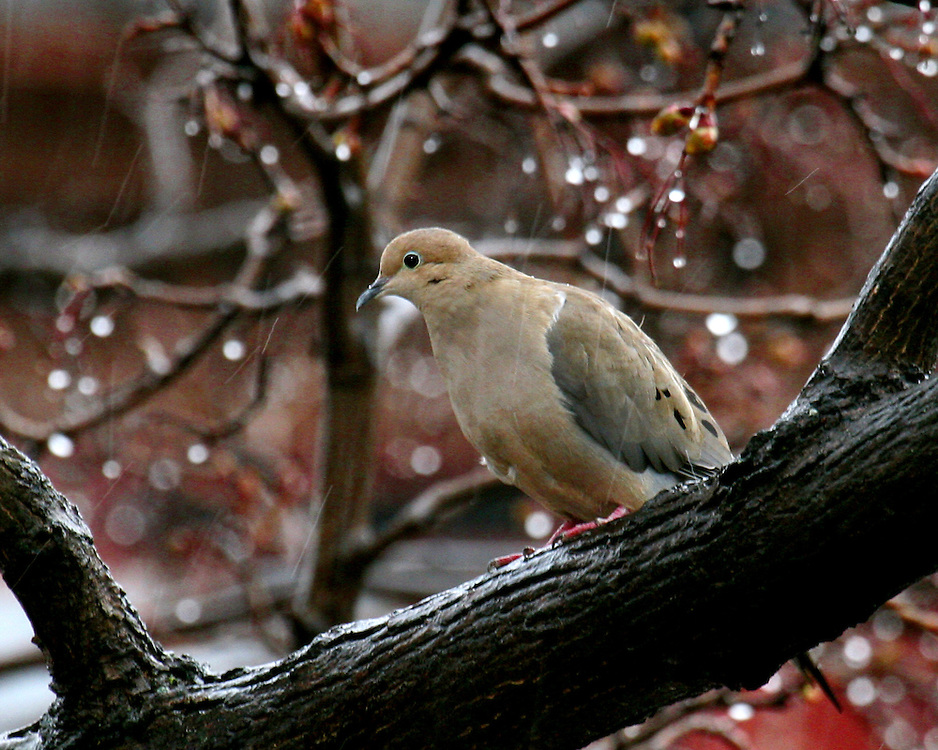 Mourning dove on a rainy day.