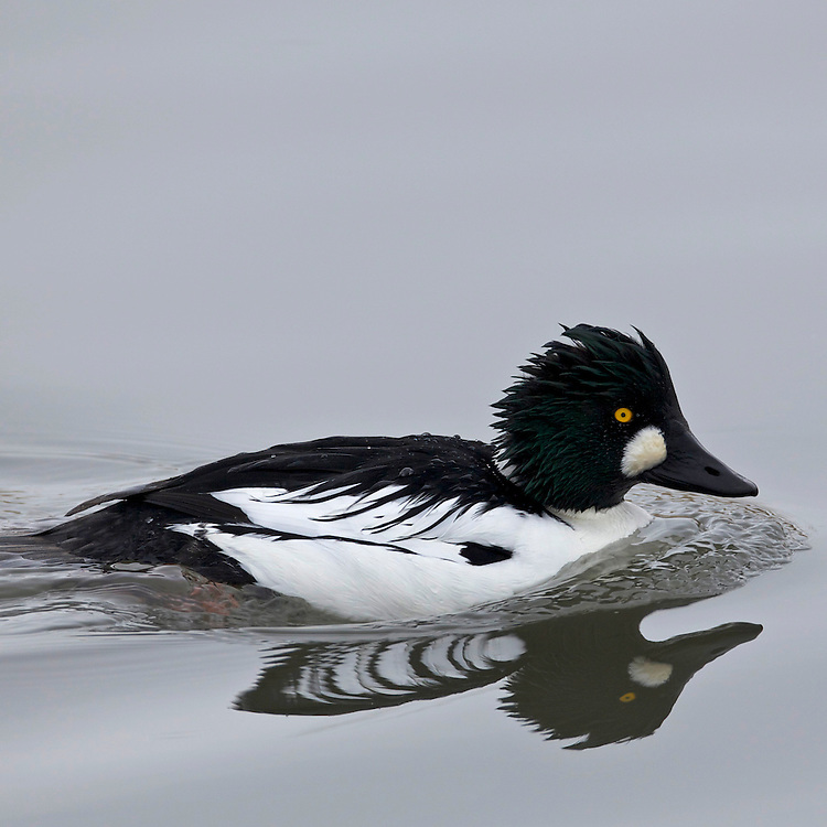 Goldeneye Duck, Great Salt Lake Utah