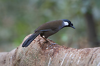 The black-throated laughingthrush (Pterorhinus chinensis) is a species of bird in the family Leiothrichidae.<br />