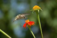 Ruby Throated Hummingbird, Female, Archilochus colubris