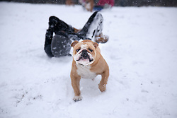 © London News Pictures. 20/01/2013. Bluebell Hill, Chatham, Kent. A pet bulldog drags its owner down the snowy slopes of Bluebell Hill in Chatham, Kent. Continued snowy weather finally hits Kent and is forecast for the next 48 hours. Picture credit should read Manu Palomeque/LNP