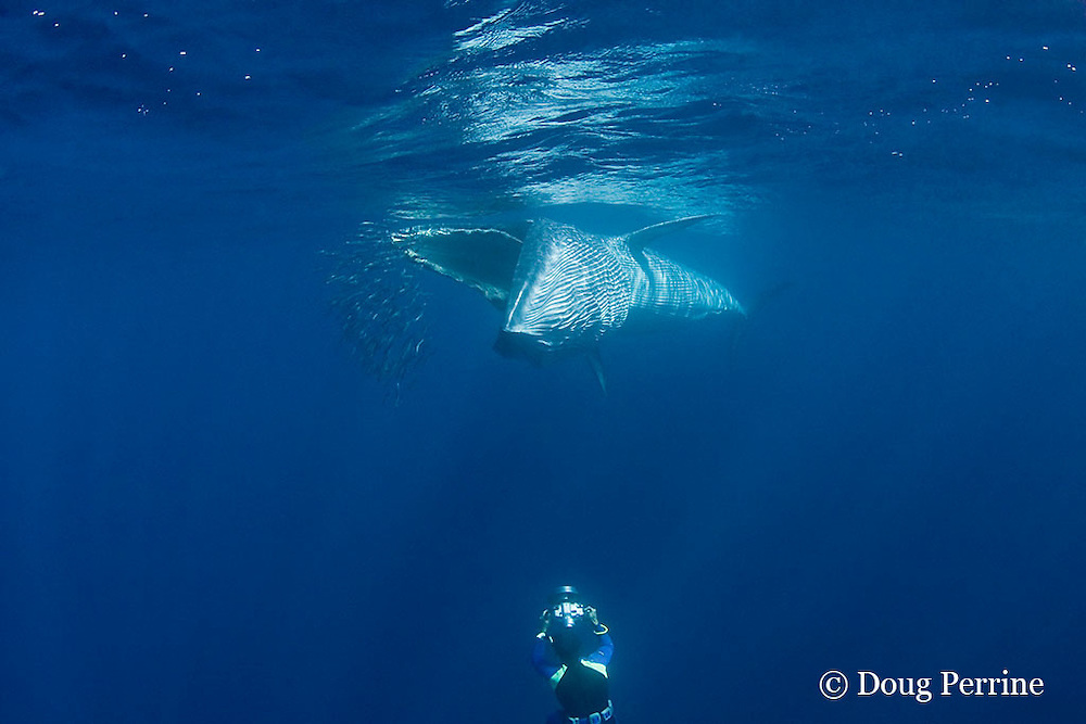 Bryde's whale, Balaenoptera brydei or Balaenoptera edeni, feeding on baitball of sardines, off Baja California, Mexico ( Eastern Pacific Ocean ); photographer Brandon Cole at bottom of frame #3 in sequence of 6; MR 399