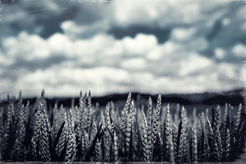 Close-up of a field of rye at harvest time. Monochrome texturized photograph.<br />