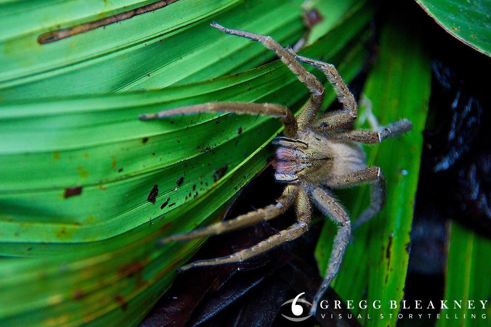 Tarantula near Termales Beach - Pacific Coast - Colombia