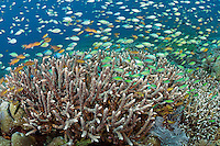 Clouds of Damsels and Anthias feed in the current above large Table Coral formations <br /> <br /> Shot in Indonesia