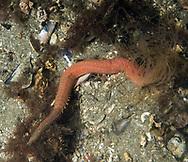 Bristleworm (Eupolymnia nebulosa)Location : Stavanger, Norway