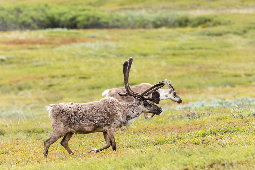 Caribou (Rangifer tarandus) foraging at Highway Pass in Denali National Park in Interior Alaska. Summer. Afternoon.