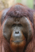 Bornean Orangutan <br /> Pongo pygmaeus<br /> Dominant male showing pronounced cheek pads<br /> Tanjung Puting National Park, Indonesia