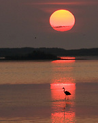 A great blue heron looks for breakfast during an August sunrise in Chincoteague National Wildlife Refuge