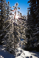 A snow covered tree backlit by the sun on a blue sky day. Washington, Cascades, USA.