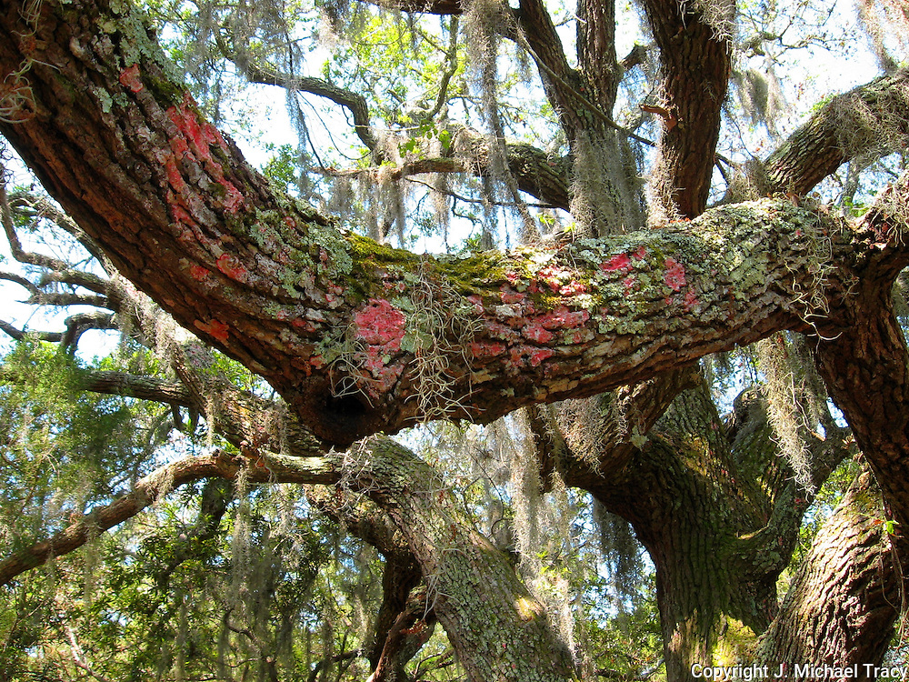 Pink and green lichens, moss and Spanish Moss growing on old oak trees in a Jekyll Island swamp forrest.