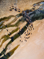 An aerial of a herd of camels (Camelus dromedaries) moving across Kenya's Chalbi Desert toward a water hole, Chalbi Desert, Kenya, Africa