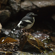 The slaty-backed forktail (Enicurus schistaceus) is a species of forktail in the family Muscicapidae. The bird frequents the edges of fast-flowing streams and rivers, where it hunts small invertebrates by hopping among rocks or flying out over the water.