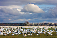 Large flock of Snow Geese (Chen caerulescens) in the lower Skagit Valley Washington USA