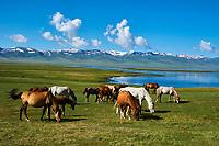 Kirghizistan, province de Naryn, le lac de Song Kol,troupeau de chevaux// Kyrgyzstan, Naryn province, Song Kol lake, horses herd