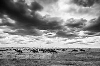 Wildebeest in the Masai Mara, Kenya