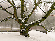 Old oak near the East tennis courts, Mt Tabor Park. Photo 12/25/2008.