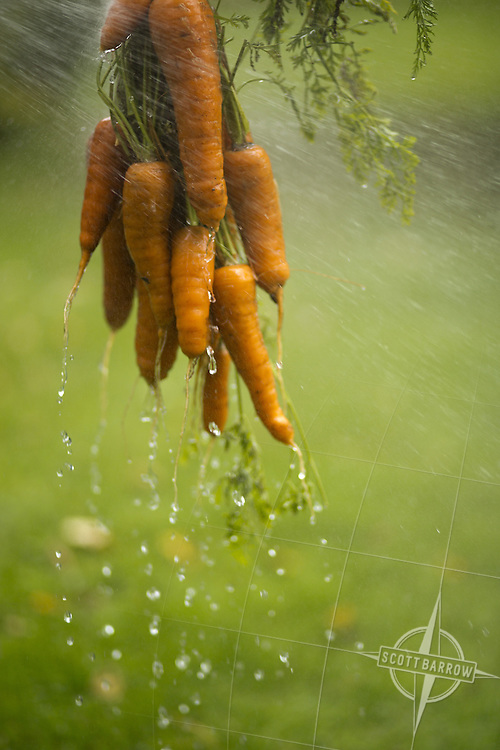 Freshly harvested organic carrots being washed outdoors.