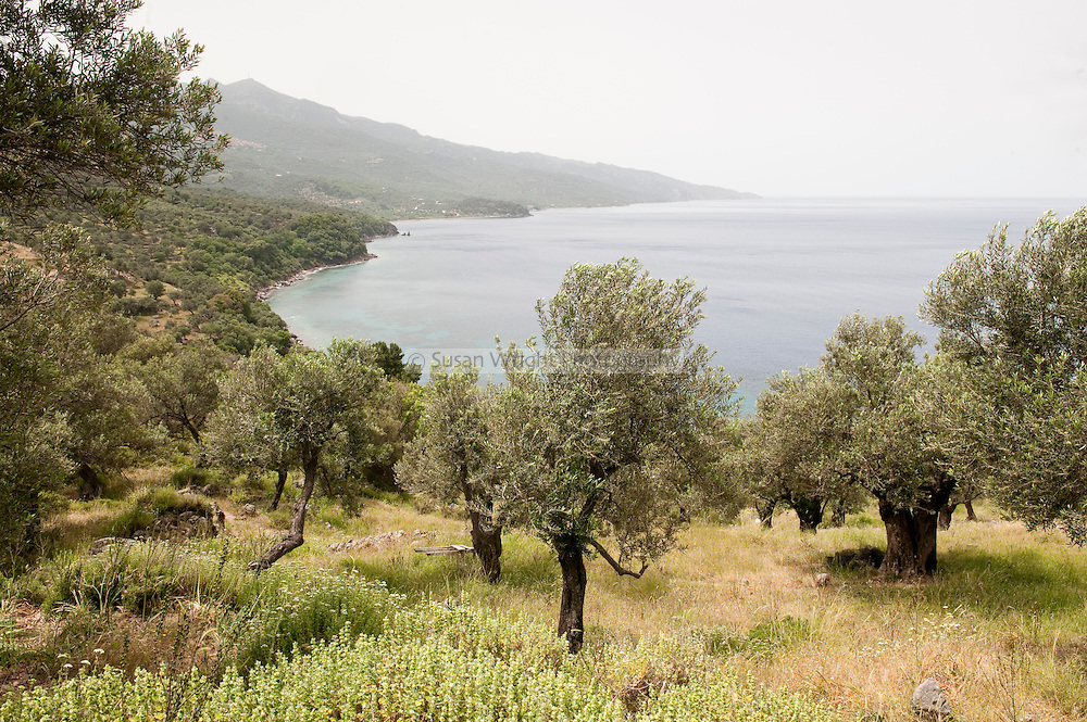 Olive groves on the slopes near Korakas Lighthouse, Lesbos Island, Greece