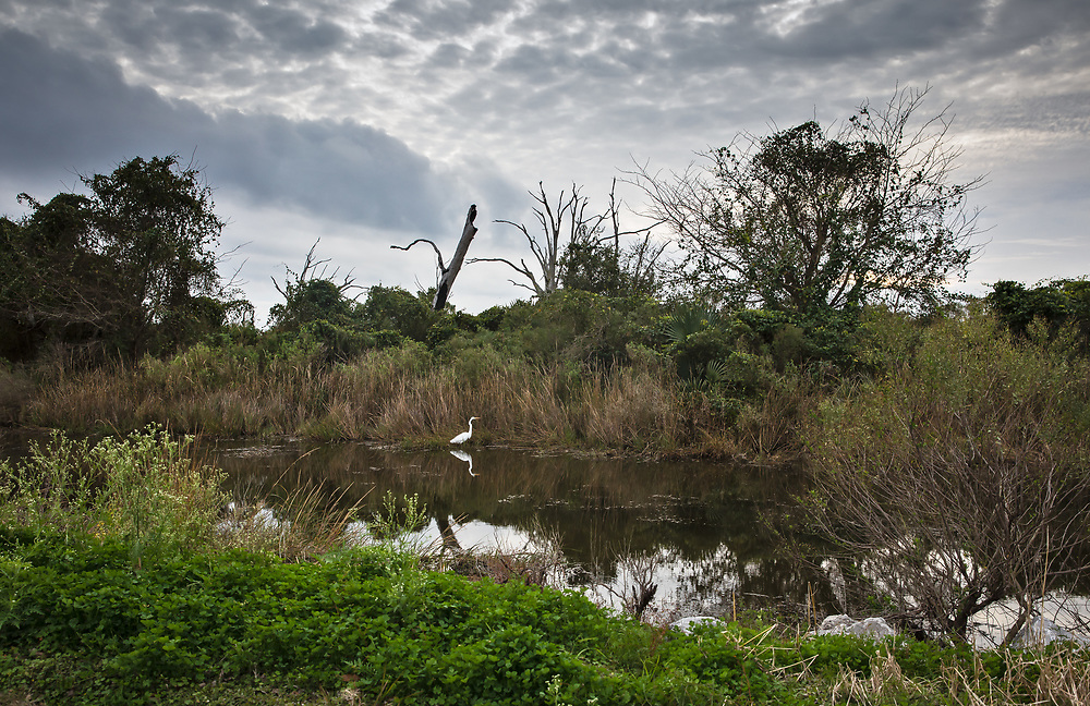 Egrets on the Isle de Jean Charles in Louisana.