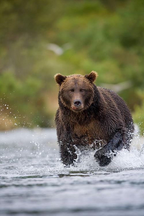 USA, Alaska, Katmai National Park, Kinak Bay, Brown Bear (Ursus arctos) running through river while fishing for spawning salmon