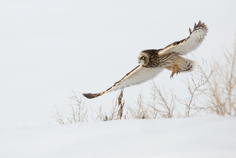 Gliding on silent wings, a short-eared owl searches for prey hidden beneath the deep snow.