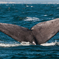 Tail of a North Atlantic Right Whale (Eubalaena glacialis) in the Bay of Fundy, Canada, September, 2011.