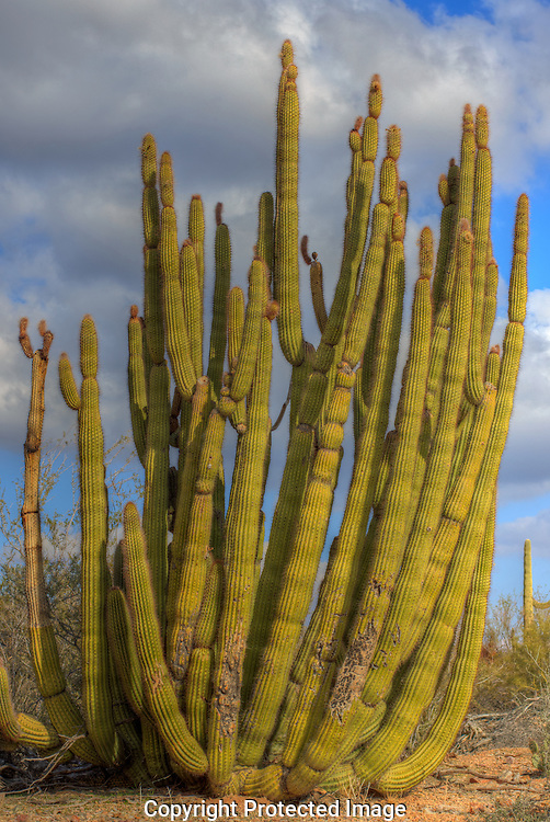 The Organ Pipe National Monument is named for this Organ Pipe cactus.
