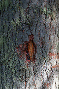 A tree is secreting resin through a wound in its bark