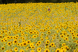 © Licensed to London News Pictures. 05/08/2020. CHORLEYWOOD, UK.  A boy walks amongst sunflowers on a warm, sunny day which are currently in full bloom, growing in a wheat field, near Chorleywood in Hertfordshire.  The forecast is for much temperatures exceeding 30C by the end of the week..  Photo credit: Stephen Chung/LNP