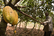 Cocoa farmer Lawson Lanquaye Mensah, 70, uses a blade mounted on a long stick to cut cocoa pods of a tree on his farm in the town of Assin Adadientem, roughly 100km west of Ghana's capital Accra on Sat. January 21, 2007. The tool is used to harvest cocoa pods that grow at various heights and are sometimes unreachable by hand.