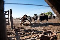 GAUCHOS A CABALLO Y NOVILLOS EN UN FEED LOT, CARMEN DE ARECO, PROVINCIA DE BUENOS AIRES, ARGENTINA