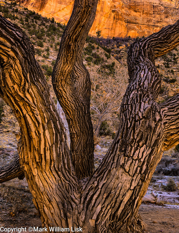 Cottonwood trees line the creek bottom of the Buckhorn Wash, San Rafael Swell, Utah.