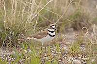 Early May 2016 this adult Killdeer stands close watching over the four young that have hatched and are exploring the short grass in the Bear River Bird Refuge in northern Utah.