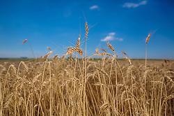 Lavoura pronta para a colheita do trigo. FOTO: Jefferson Bernardes / Agência Preview