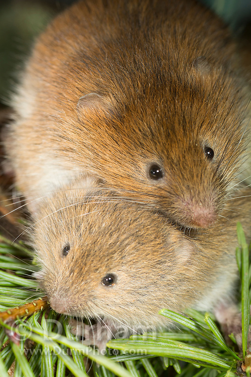 A red tre vole (Arborimus longicaudus) mom and her 30 day old offspring. Red tree voles are nocturnal and live in Douglas fir tree-tops and almost never come to the forest floor.  They are one of the few animals that can persist on a diet of conifer needles which is their principle food.  As a defense mechanism, conifer trees have resin ducts in their needles that contain chemical compounds (terpenoids) that make them unpalatable to animals.  Tree voles, however, are able to strip away these resin ducts and eat the remaining portion of the conifer needle.