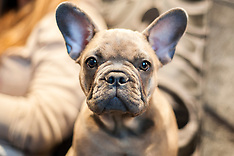 Hugo the French Bulldog