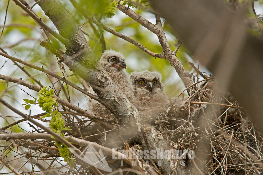 May and the Great Horned Owlets are now about three weeks old and very curious about what is going on around their cottonwood tree.