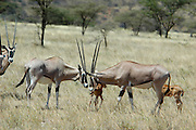 Kenya, Samburu National Reserve, Kenya, Gemsbok (Beisa Oryx), two males clashing heads February 2007