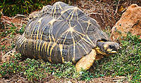 Radiated tortoises (Geochelone radiata)